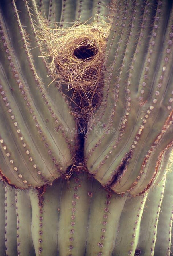 Nest in Cactus Saguaro royalty-vrije stock fotografie