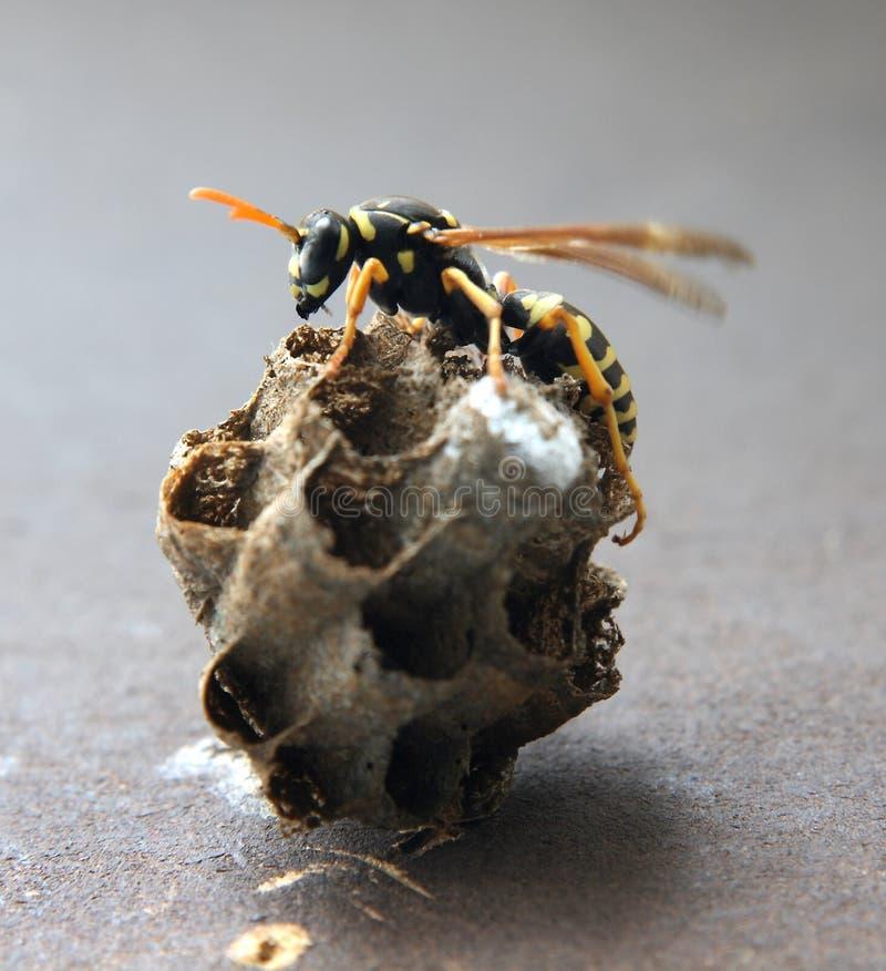 Nest der Hornisse stockfoto