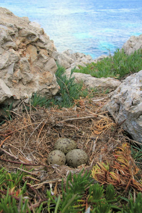 Nest der Möve stockfoto