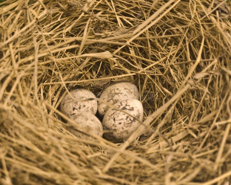 Nest. Four eggs in the nest stock photo