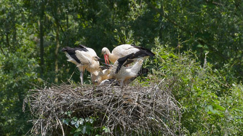 Nest with four storks royalty free stock photo