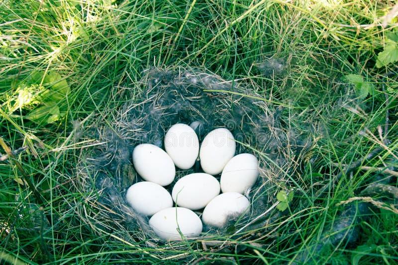 Nest het van de Smient (Ana Penelope) eend stock afbeelding