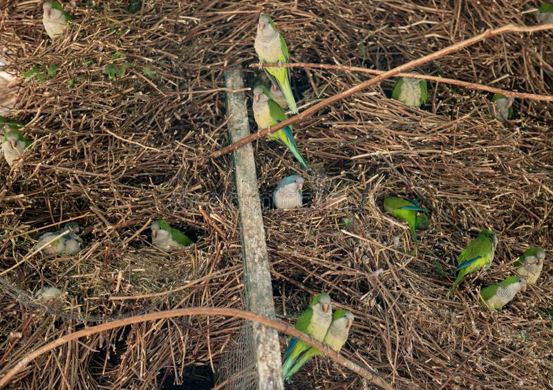 Nest of little green and blue parrots in the reserve. Beautiful tropical birds royalty free stock images