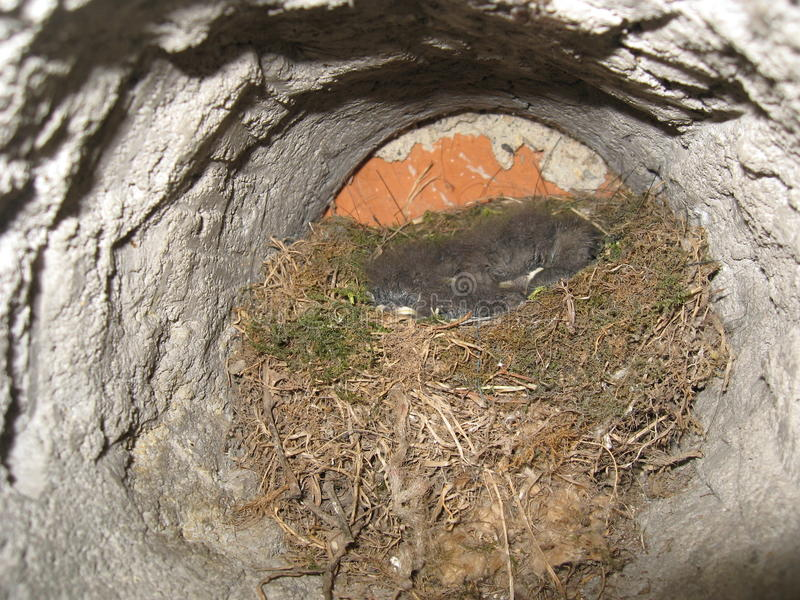 Nest met kleine vogels stock fotografie