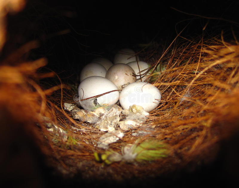 Nest mit Eiern stockfotos