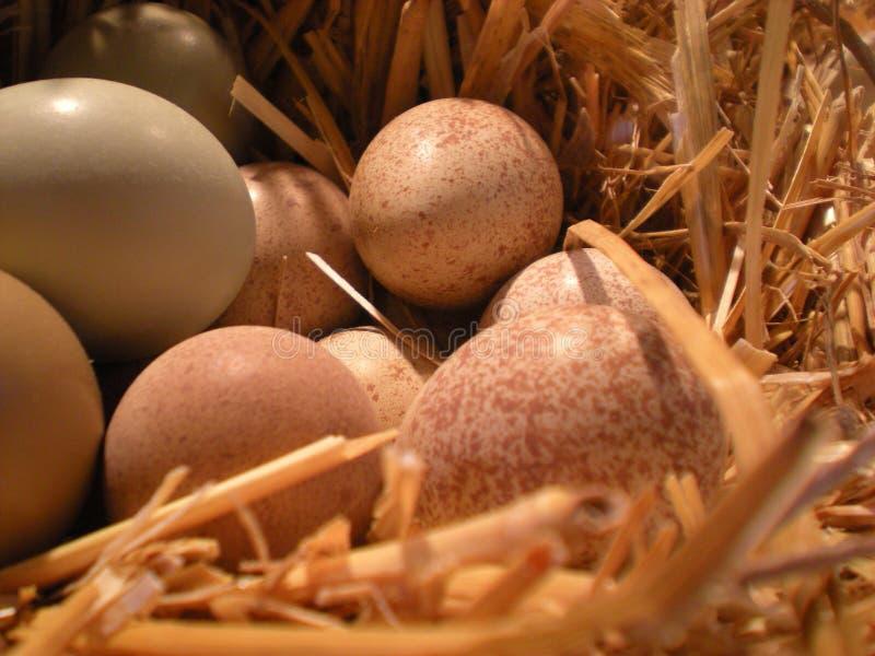 Nest mit Eiern stockbild