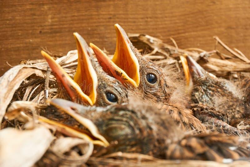 Nest mit jungen Amseln stockbilder