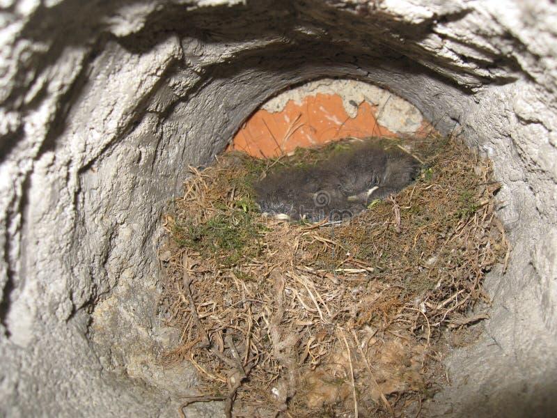Nest mit kleinen Vögeln stockfotografie