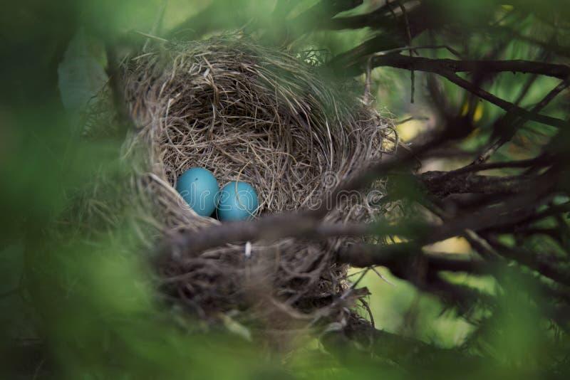 Nest mit zwei blauen Eiern stockfotos