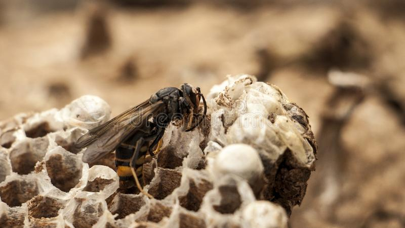 Nest of paper wasp royalty free stock photos