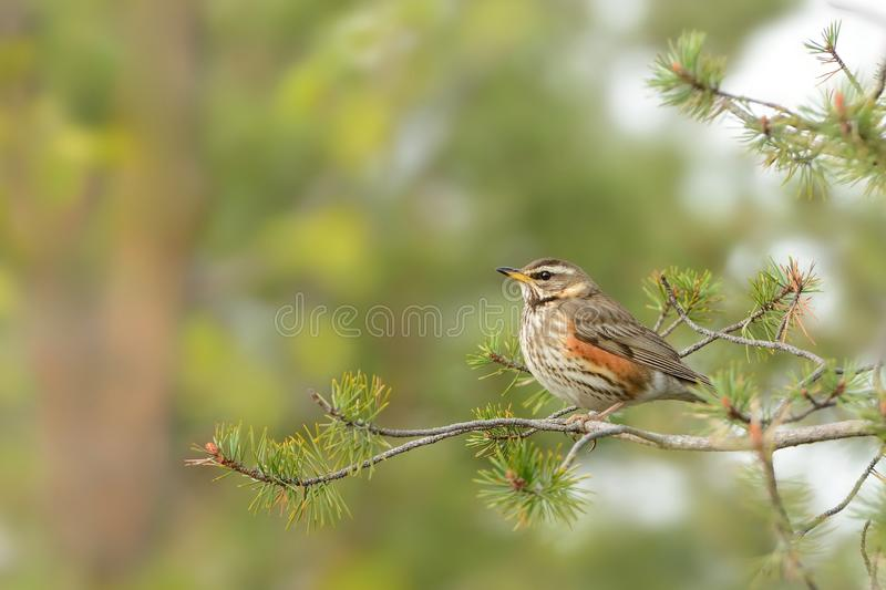Nest of Redwing - Turdus iliacus bird in the thrush family, Turdidae, native to Europe and Asia, slightly smaller than the stock photo
