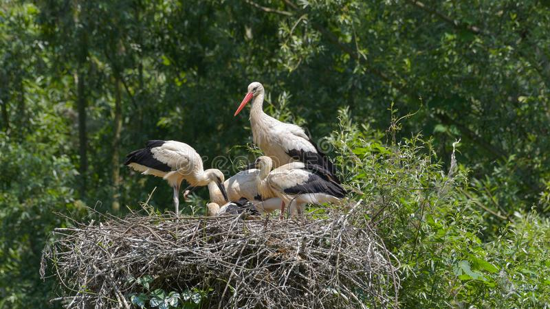 Nest with the small stork. With the mother who is watching, very close royalty free stock photos