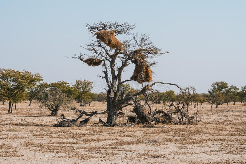 Nest of a Social Weaver Bird on a Tree in Etosha National Park. Nest of a Social Weaver Bird on a Tree in an African Savanna Landscape in Etosha National Park royalty free stock photography