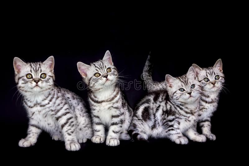 Nest tabby kittens isolated on black background royalty free stock photos