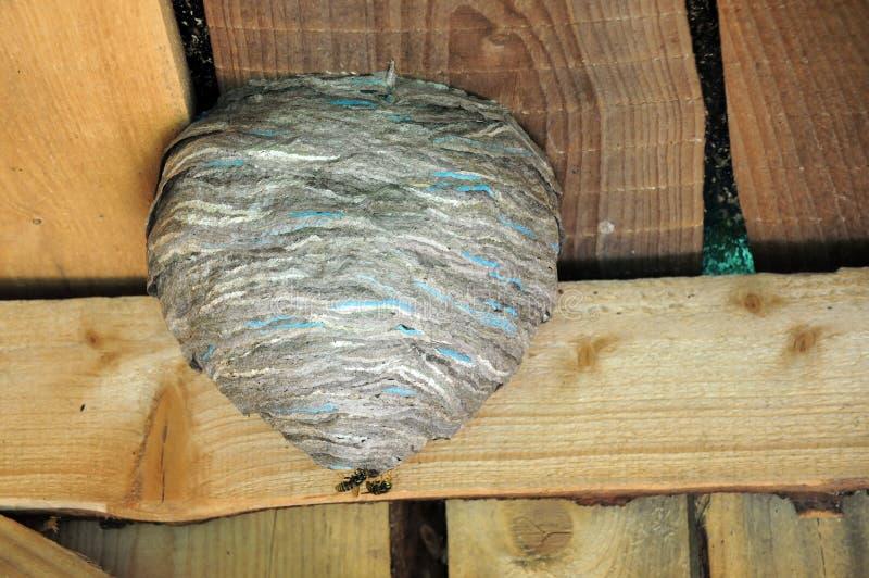 Nest und zwei Hornissen der Hornissen lizenzfreies stockbild