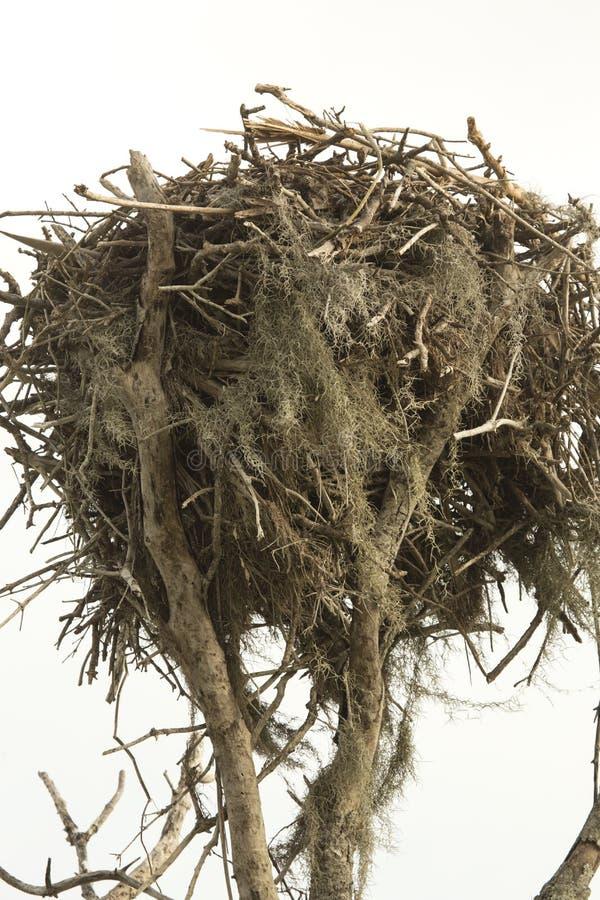 Nest van een visarend bij Flamingo in Florida Everglades stock foto