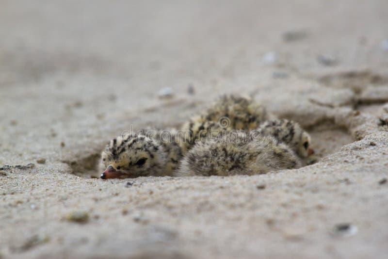 Nest van Gemeenschappelijke Stern De vogel leeft op het fornuis dichtbij de rivieren op het strand, Desna-rivier, de Oekraïne royalty-vrije stock fotografie