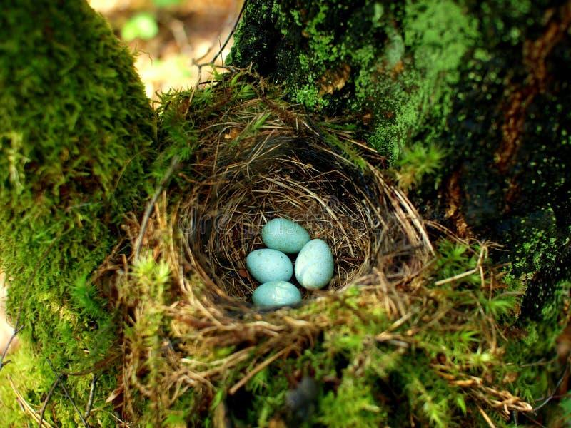 Nest van vogel met eieren in het bos stock foto's