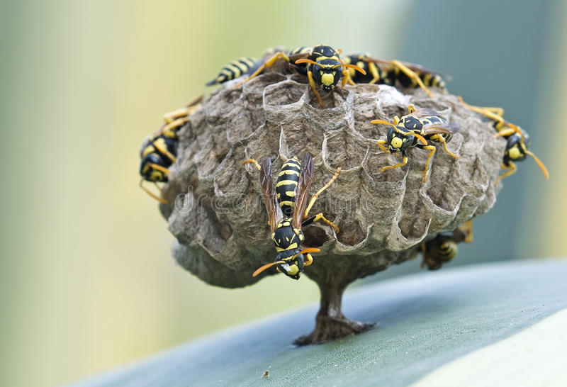 Nest van wespen stock foto