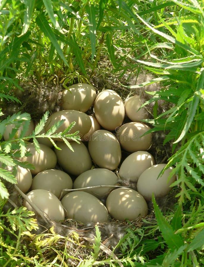 Nest van wilde eend royalty-vrije stock afbeelding