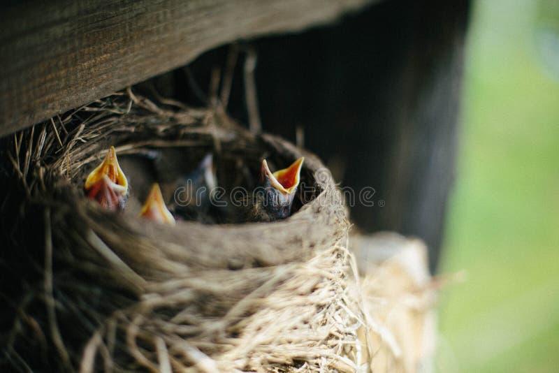 Nest von Amseln mit gelb-throated Küken stockfoto