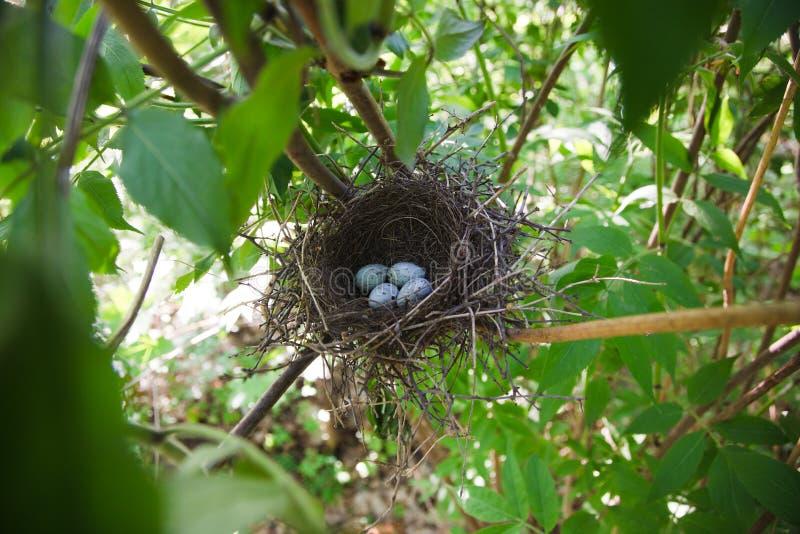 Nest von Hawfinch, (Coccothraustes) lizenzfreie stockfotografie