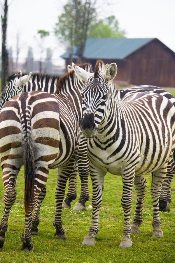 Nesta foto um grupo de zebras imagens de stock royalty free