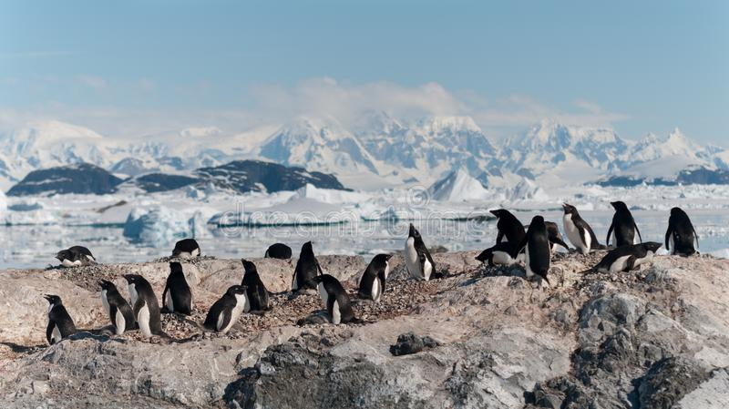 Nesting Adelie Penguin colony, Yalour Islands, Antarctic Peninsula. Nesting Adelie Penguin colony Antarctica stock images