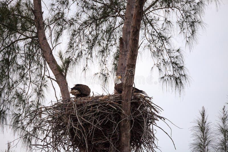 Nesting Adult bald eagle Haliaeetus leucocephalus nests on Marco Island stock images