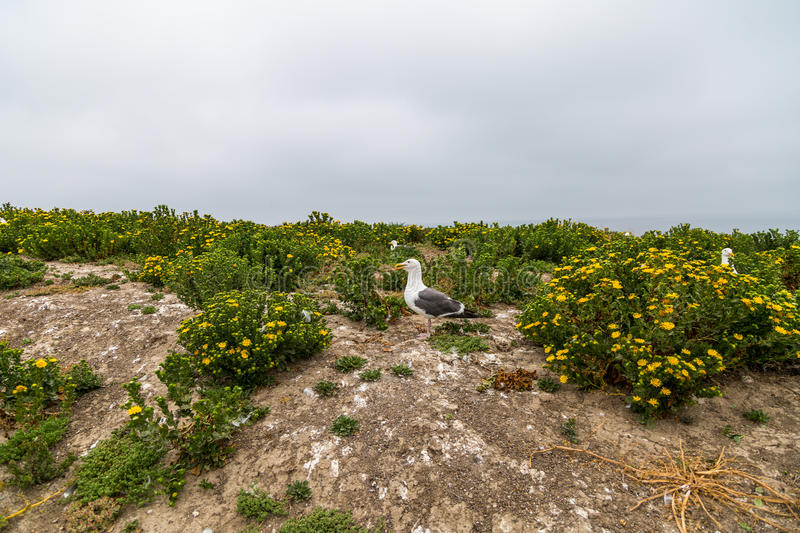 Nesting Area of Western Gulls. On Anacapa Island in California stock photos
