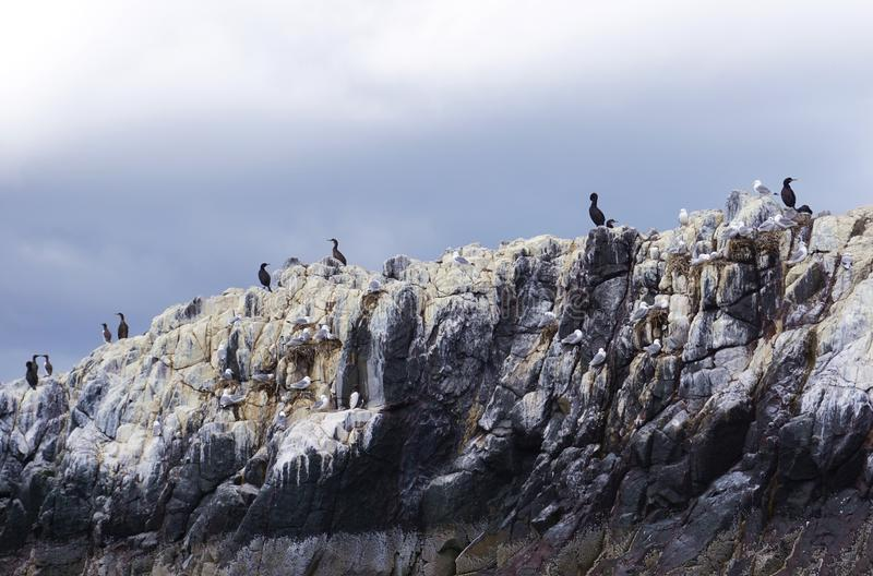 Nesting Birds Atop A Farne Islands Cliff, Northumberland, England royalty free stock images