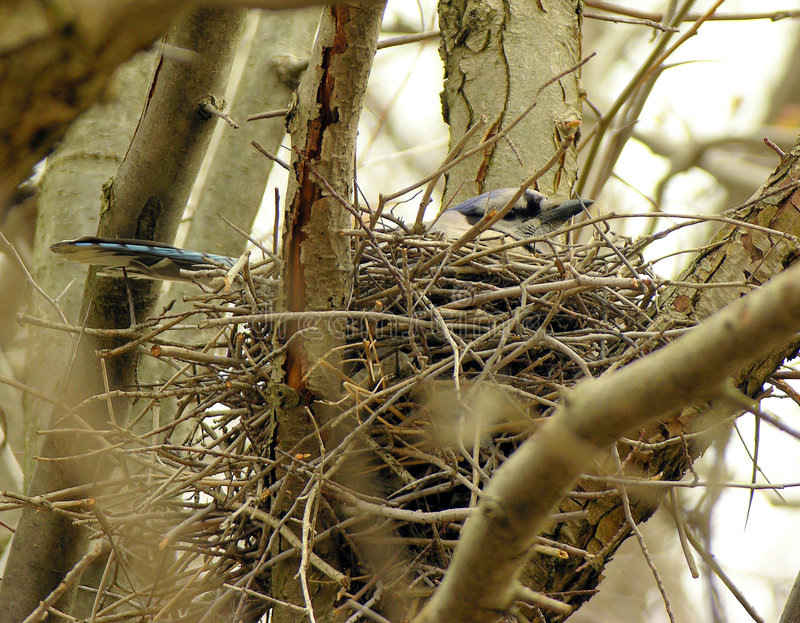Download Nesting Blue-jay stock photo. Image of branch, outdoors - 112132