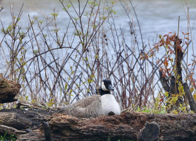 A Nesting Canada Goose. This is a Spring picture of a nesting Canada Goose on the island on the South Pond in Lincoln Park located in Chicago, Illinois in Cook royalty free stock photos