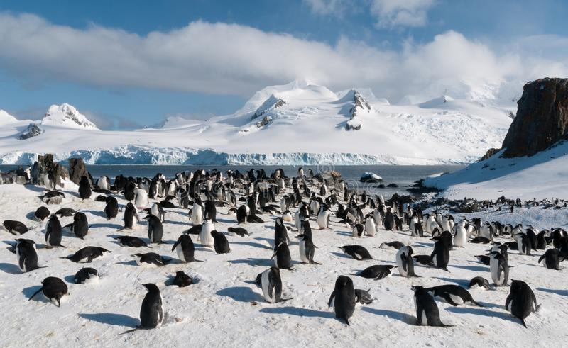 Nesting Chinstrap Penguin colony, Halfmoon Island, Antarctica. Chinstrap Penguin colony, nesting in the snow, Antarctica royalty free stock photography