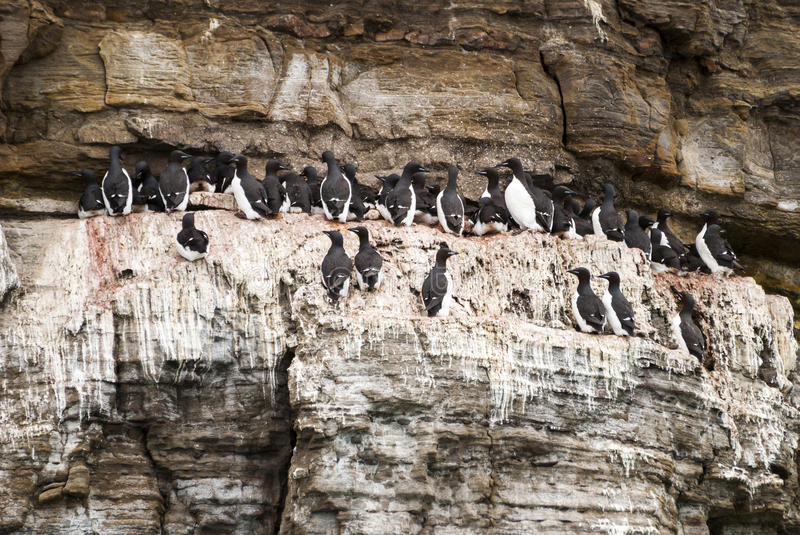 Nesting colony of guillemots birds on the cliff, Svalbard, Norwa. Guillemots birds nesting on clifff in Svalbard, Norway stock photos