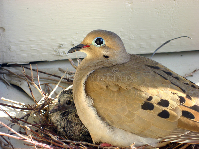 Nesting Dove. With a baby stock photography