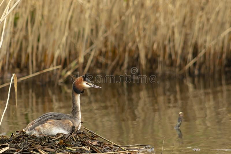 Nesting great crested grebe podiceps cristatus royalty free stock images
