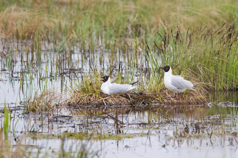 Nesting gulls. Nesting black-headed gulls on a flooded meadow royalty free stock image