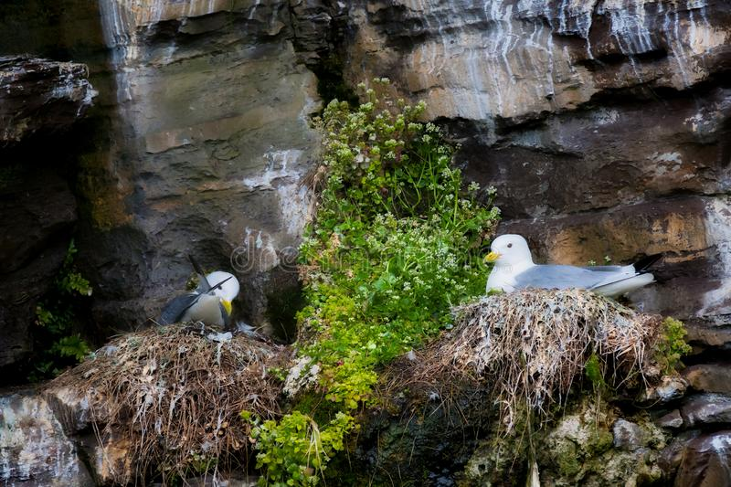 Nesting kittiwakes on a cliff ledge royalty free stock photos