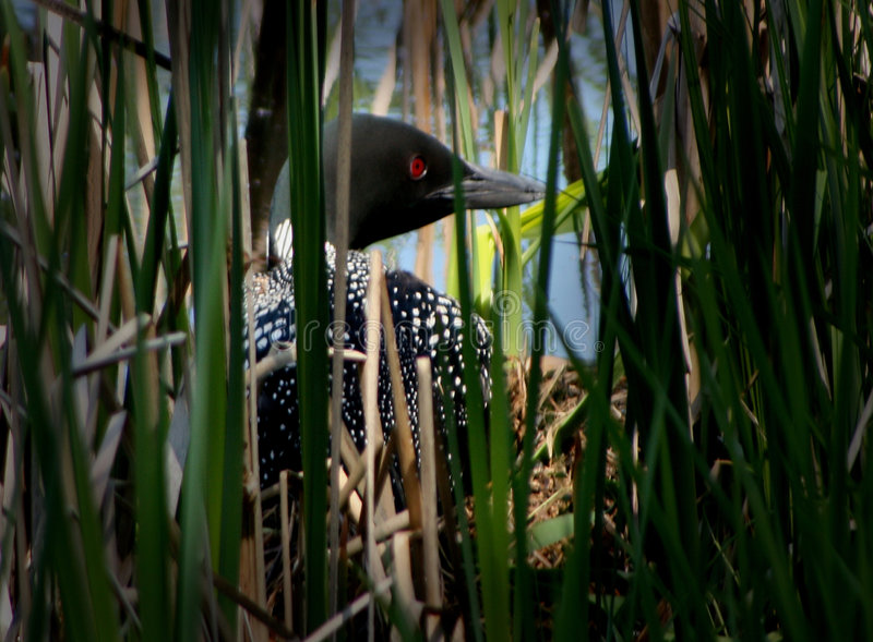 Nesting Loon. Loon nesting on a Minnesota lake shore stock photos