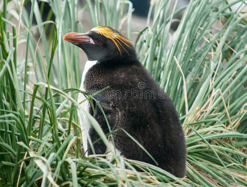 Nesting Macaroni Penguin in tussock grass, South Georgia royalty free stock images
