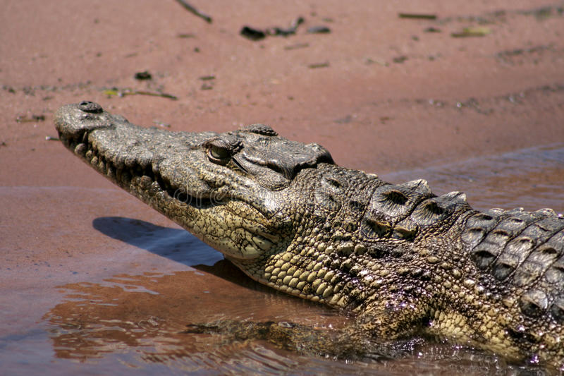 Download Nesting Nile Crocodile stock photo. Image of chobe, crocodile - 15995092