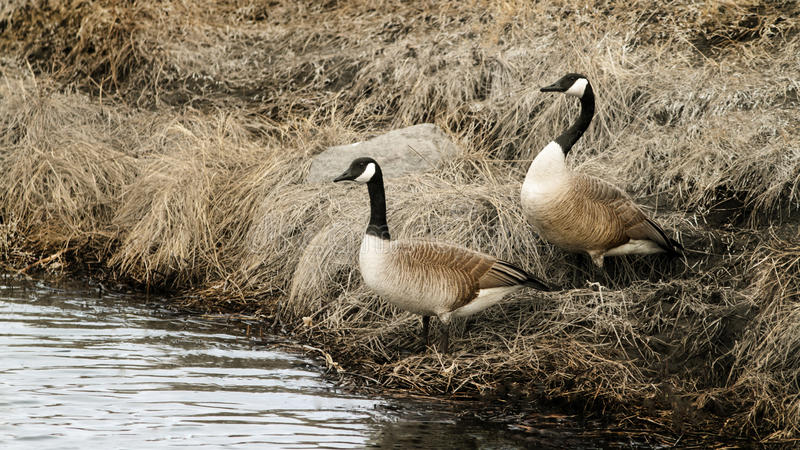 Nesting Pair. A nesting pair of Canada Geese royalty free stock photography