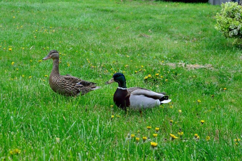 Nesting Pair Male Female Mallard Ducks stock image