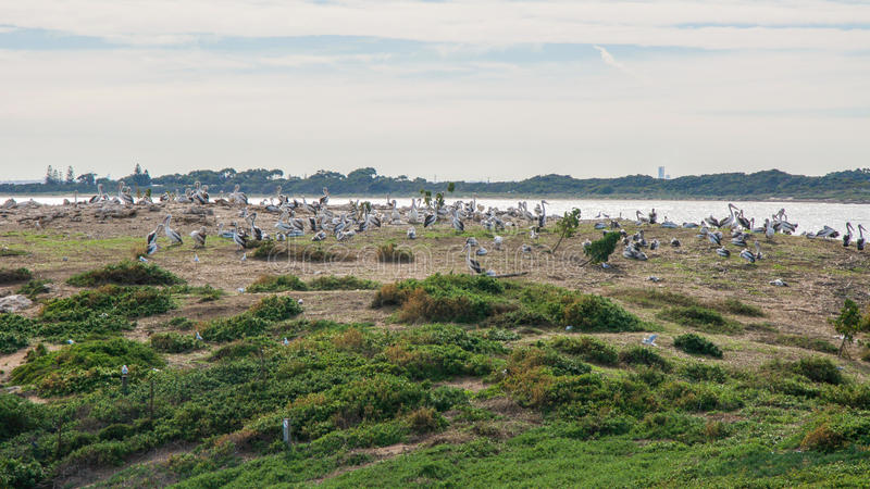 Nesting Pelicans. Large flock of nesting pelicans in the green coastal dunes at Penguin Island the Indian Ocean in the background under a cloudy sky in royalty free stock photos