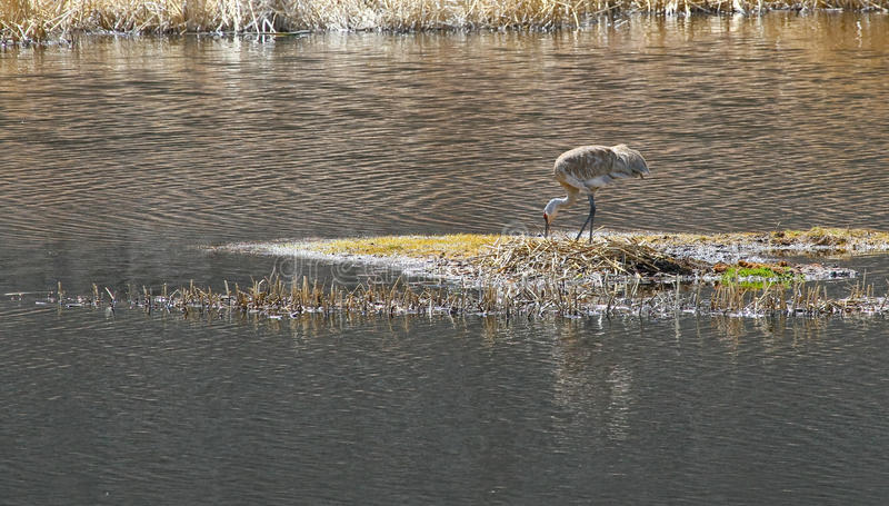 Nesting Sandhill Crane stock photography