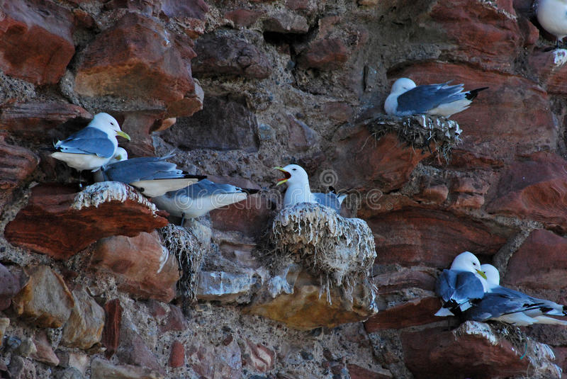 Nesting seagulls. These are just a small selection of seagulls that were nesting on the rocks of which there were hundreds and were very loud royalty free stock photos
