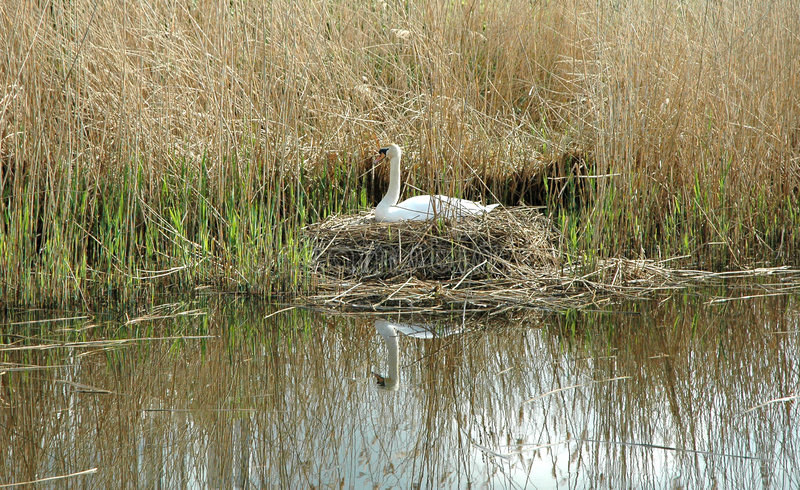 Download Nesting Swan stock image. Image of riverside, watch, water - 114559