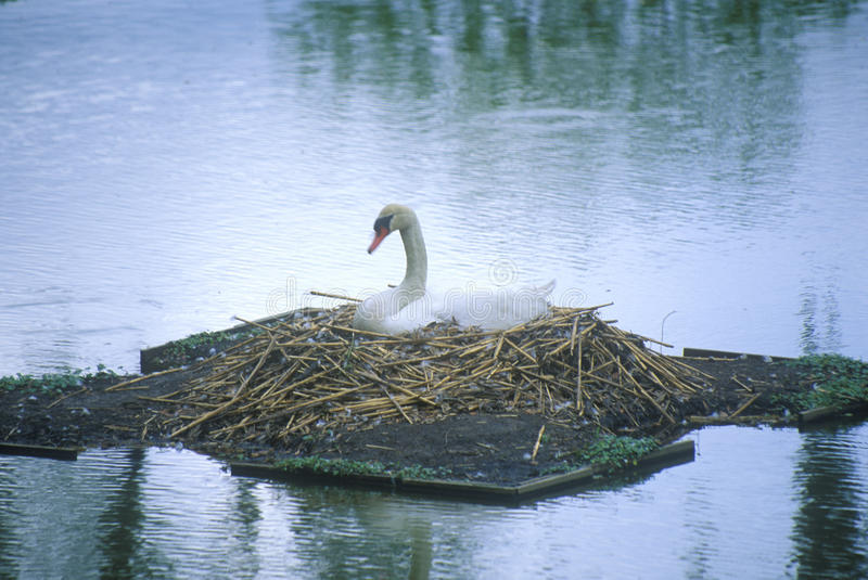Nesting swan in lake, Middleton plantation, Charleston, SC stock images