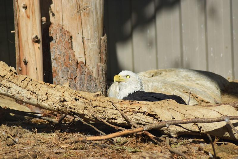 Nestled in a forest area sits an American bald eagle stock photography
